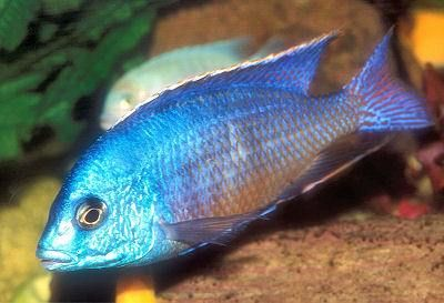 Red Imperatrice, africani Cichlid Facts