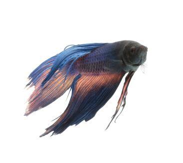 Malattie dei pesci betta
