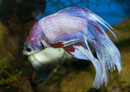 Serbatoi di pesce Betta