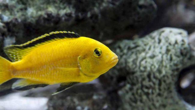 giallo pesci ciclidi africano