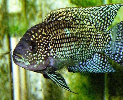 Jack Dempsey pesce dal https://willegal.net/tropical_fish/jack.jpg