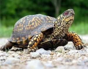 Cura di tartarughe scatola