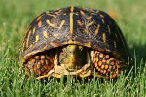 Dieta per l`alimentazione del vostro casella di tartaruga