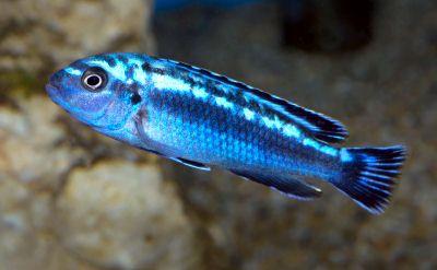 Electric Blue Johannii, PSEUDOTROPHEUS JOHANNII, Johanni Ciclide, Blu Johanni, grigio azzurro Mbuna, Blu Mbuna