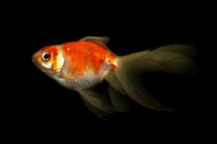 nuoto Goldfish