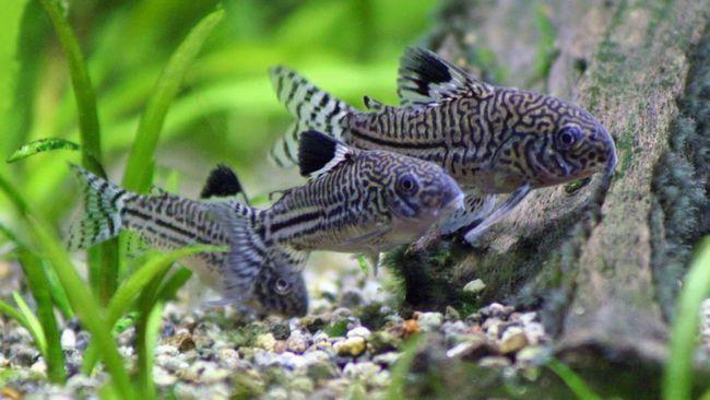 pesce gatto Corydoras