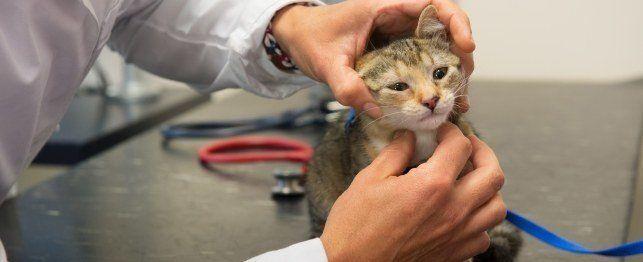 Manipolazione sintomi comuni del gatto e malattie