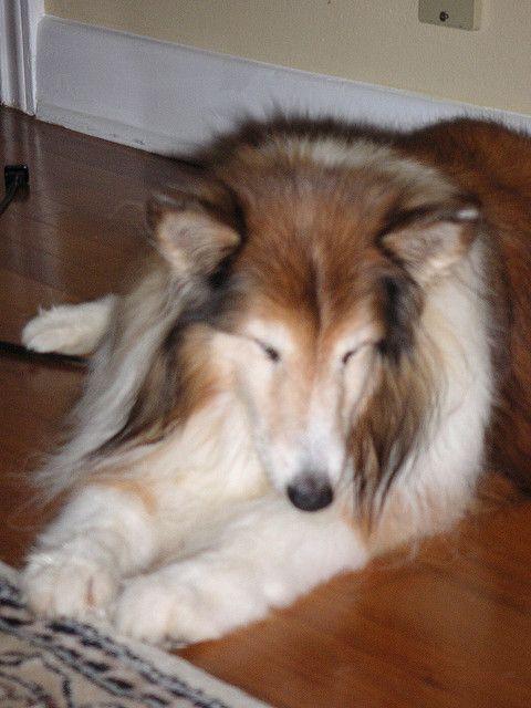 filariosi cardiopolmonare può colpire qualsiasi cane a qualsiasi età.