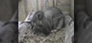 Addestrare un coniglio di utilizzare una lettiera