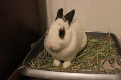 Coniglietto in Litterbox