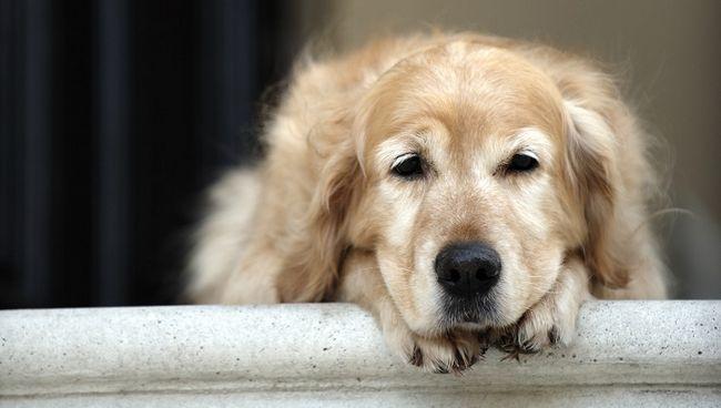 Cane del documentalista dorato che giace in porta di casa, guardare lontano (messa a fuoco sul primo piano)