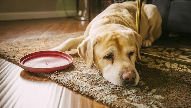 Cane triste posa con disco in plastica in salotto