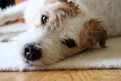 Cane, che sul tappeto