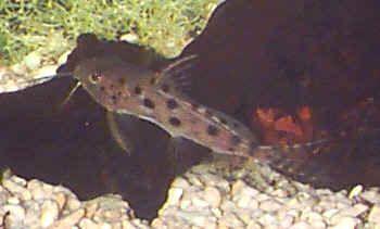 Ocellato Synodontis, Synodontis ocellifer, Grande-spot Catfish