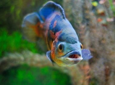 Oscar cura dei pesci