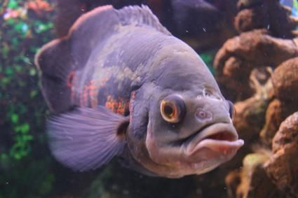 Malattie dei pesci Oscar