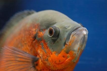 Domande di pesce Oscar