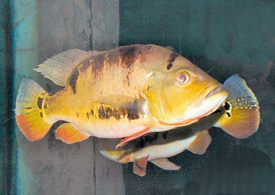 Pavone Cichlid, ocellaris Cichla, Farfalla Peacock Bass, Occhio Spot Ciclide