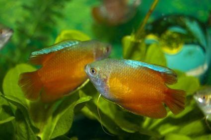 Pesci tropicali popolare