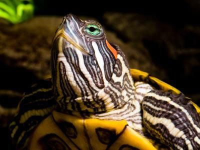 Red cursore tartaruga dalle orecchie cura