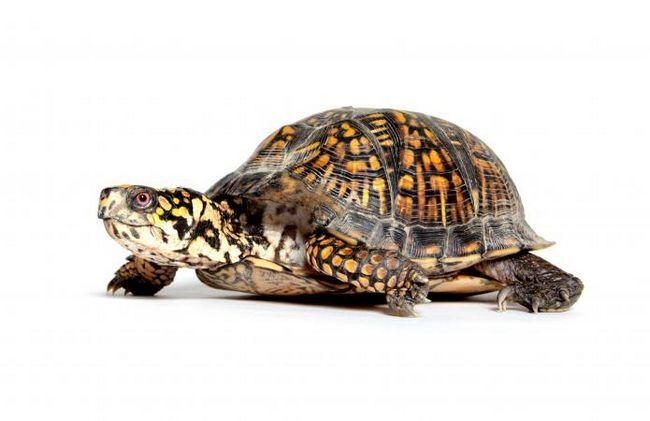 Tipi di tartarughe da compagnia