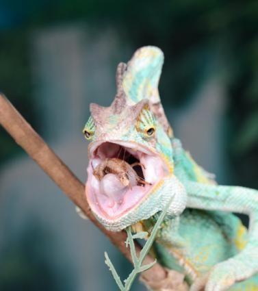Cosa camaleonti mangiano?